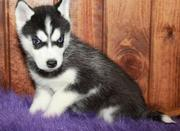 FEMALE HUSKY NEED A LOING HOME