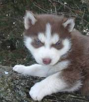 Black, White and Red Siberian Husky Puppies-Charming Blue Eyes
