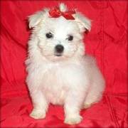 Beautiful Maltese For Good Looking Home