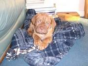 Dogue De Bordeaux Puppy for sale